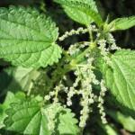 Herb - Nettle Leaf