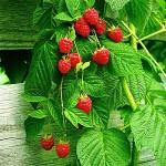 Herb - Raspberry Leaf (Rubus Idaeus)