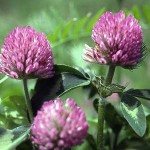 Herb - Red Clover