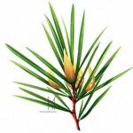 Herb - Rooibos