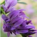 Herb - Alfalfa