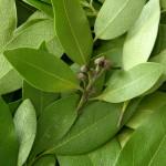 Herb - Bay Leaf