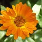Herb - Calendula