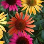 Herb - Echinacea