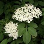 Herb - Elderflower