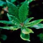 Herb - Gymnema-Sylvestre