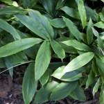Herb - Cardamon