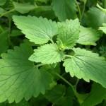 Herb - Catnip