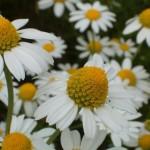 Herb - chamomile