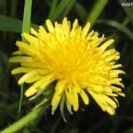Herb - Dandelion
