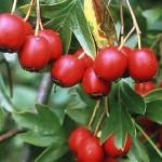 Herb - Hawthorn berries (Crataegus monogyna)