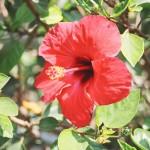 Herb - Hibiscus_Sabdariffa
