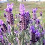 Herb - Lavender