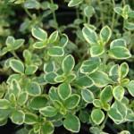 Herb - Lemon Thyme
