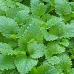 Herb - Melissa Leaf