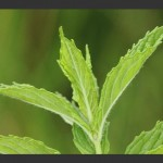 Herb - Spearmint Leaf