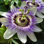 Herb - Passion-Flower