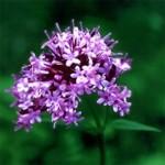 Herb - Valerian