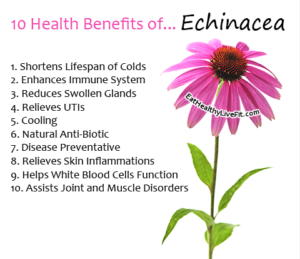 Echinacea - EatHealthyLiveFit.com